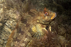 Tompot Blenny, Trefor North Wales.  Nikon D80, Ikelite Ho... by Alan Fryer 